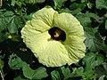 Starr-061111-1576-Hibiscus ovalifolius-flowers-Pukalani-Maui (24240773654).jpg