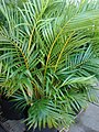 Starr-080103-1131-Chrysalidocarpus lutescens-habit-Lowes Garden Center Kahului-Maui (24805607021).jpg
