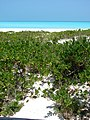 Starr-080531-4738-Scaevola taccada-habit-North Beach Sand Island-Midway Atoll (24283780633).jpg