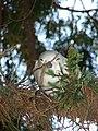Starr-080604-6198-Juniperus bermudiana-branch with nappy white tern-Road to Marine barracks Sand Island-Midway Atoll (24795509232).jpg