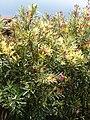Starr-090417-6147-Nerium oleander-variegated habit-Haliimaile-Maui (24952196415).jpg