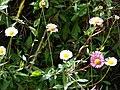 Starr-090513-7552-Erigeron karvinskianus-flowers-Polipoli-Maui (24928421376).jpg