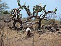 Starr-090519-8051-Opuntia ficus indica-habit with goats-Kula-Maui (24660184310).jpg