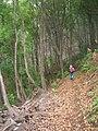 Starr-090521-9231-Fraxinus uhdei-habit with Forest-Polipoli-Maui (24956636545).jpg