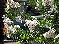 Starr-090720-3013-Lagerstroemia indica-flowers and leaves-Waiehu-Maui (24339504964).jpg