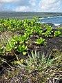Starr-091104-0734-Ischaemum byrone-habit-Kahanu Gardens NTBG Kaeleku Hana-Maui (24691992710).jpg