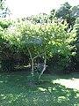 Starr-091104-0931-Calliandra haematocephala-white flower form habit-Kahanu Gardens NTBG Kaeleku Hana-Maui (24894557541).jpg