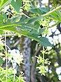 Starr-091104-9303-Carica papaya-male flowers-Kahanu Gardens NTBG Kaeleku Hana-Maui (24358389774).jpg