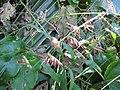 Starr-091104-9309-Oplismenus hirtellus-flowers-Kahanu Gardens NTBG Kaeleku Hana-Maui (24362147623).jpg