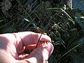 Starr-091104-9310-Oplismenus hirtellus-flowers in hand-Kahanu Gardens NTBG Kaeleku Hana-Maui (24362149233).jpg
