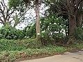 Starr-101130-9603-Montanoa hibiscifolia-flowering habit-Ulupalakua-Maui (24689604149).jpg