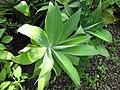 Starr-110215-1126-Agave attenuata-habit-KiHana Nursery Kihei-Maui (25049324326).jpg