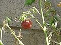 Starr-110215-1464-Solanum lycopersicum-black fruit-Kihei-Maui (24983000361).jpg