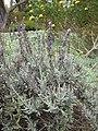 Starr-110307-2436-Lavandula sp-flowering habit-Kula Botanical Garden-Maui (25078082835).jpg