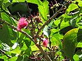 Starr-110330-4287-Syzygium malaccense-flowers-Keanae-Maui (24988206901).jpg