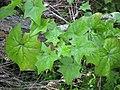 Starr-110331-4434-Delairea odorata-habit-Shibuya Farm Kula-Maui (24454857653).jpg
