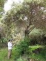 Starr-110331-4534-Buddleja salviifolia-habit with Kim-Shibuya Farm Kula-Maui (24963710012).jpg