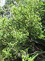 Starr-110609-6082-Buxus sp-habit-Shibuya Farm Kula-Maui (25096689595).jpg
