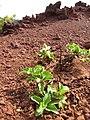 Starr-110929-9687-Acanthospermum australe-habit-Hanaula-Maui (24749424799).jpg