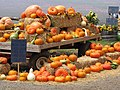 Starr-111004-0562-Cucurbita pepo-habit with pumpkin display-Kula Country Farms-Maui (24491507413).jpg