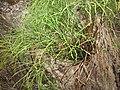 Starr-120229-3097-Psilotum nudum-habit-Waikapu Valley-Maui (24509689513).jpg
