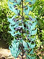 Starr-120301-3499-Strongylodon macrobotrys-flowers-Enchanting Floral Gardens of Kula-Maui (24506705424).jpg