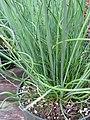 Starr-120613-9612-Juncus effusus-cv Spiralis or twisted arrow curly leaves-Home Depot Nursery Kahului-Maui (24514795654).jpg
