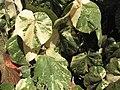Starr-120614-7428-Hibiscus tiliaceus-variegated leaves-Waihee Coastal Preserve-Maui (25119324226).jpg