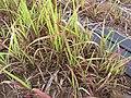 Starr-120620-7472-Cenchrus purpureus-local napier grass seedlings-Kula Agriculture Station-Maui (24518896173).jpg