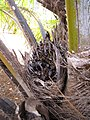 Starr-120702-7939-Elaeis guineensis-fruit-USDA Plant Materials Center-Molokai (24559481943).jpg
