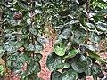 Starr-130316-2547-Polyscias scutellaria-habit-Huelo-Maui (24580740703).jpg