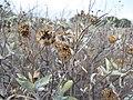 Starr-130422-4282-Encelia farinosa-seedhead-Kahului-Maui (24583643463).jpg