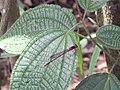 Starr-140909-1770-Clidemia hirta-leaves with Megalagrion blackburni-Wailua-Maui (25152717811).jpg
