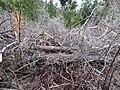 Starr-170225-0042-Rubus niveus-trail reroute heinous section-Lower Waiohuli Trail Polipoli-Maui (32998737720).jpg
