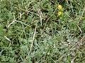 Starr 020808-0007 Lotus uliginosus.jpg