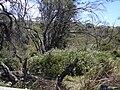 Starr 030702-0082 Plumbago auriculata.jpg