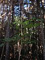 Starr 050130-3324 Flindersia brayleyana.jpg