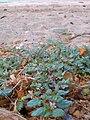 Starr 050722-2943 Trianthema portulacastrum.jpg