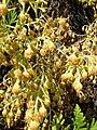 Starr 060121-8697 Artemisia mauiensis var. diffusa.jpg