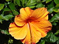 Starr 070221-4815 Hibiscus rosa-sinensis.jpg