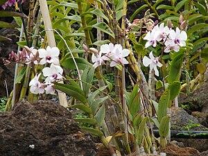 Euglossa imperialis - Orchidaceae