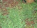 Starr 070313-5672 Brassica nigra.jpg