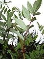Starr 070908-9330 Rubus niveus f. b.jpg