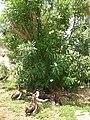 Starr 080531-4807 Nerium oleander.jpg