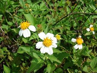 <i>Bidens alba</i> vascular plant
