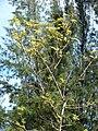 Starr 080604-6250 Leucaena leucocephala.jpg