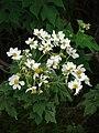 Starr 081230-0642 Montanoa hibiscifolia.jpg