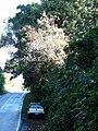 Starr 090213-2411 Syzygium jambos.jpg