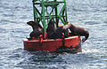 Steller Sea Lion06(js).jpg