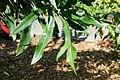 Stenocarpus sinuatus - Marie Selby Botanical Gardens - Sarasota, Florida - DSC01140.jpg